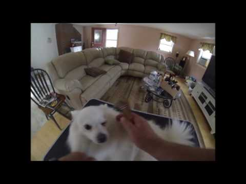 American Eskimo dog grooming