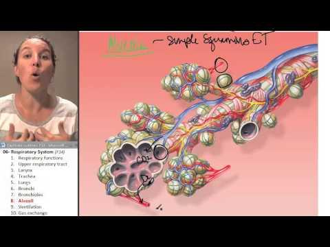 Respiratory system 8- Alveoli