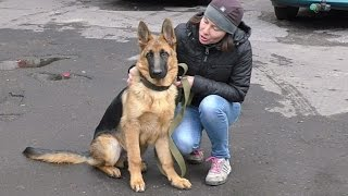 Здоровяк Барон. Щенок Немецкой овчарки 5 мес. German Shepherd puppy 5 months.