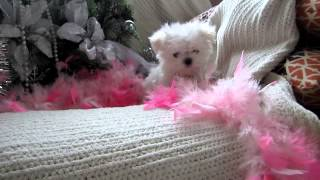 Tiny Teacup Maltese Puppy For Sale! Amazing And Great Personality! Boutiqueteacuppuppies.com