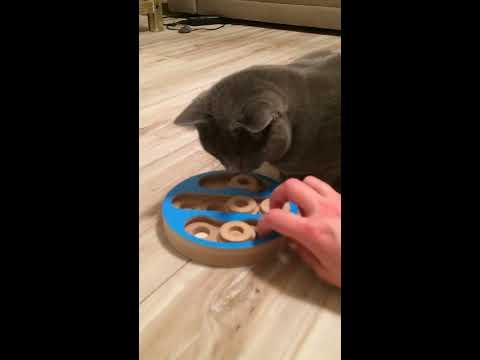 BALBINA kot kartuski 2 lata (chartreux cat) - 16. KARMNIK TCHIBO.