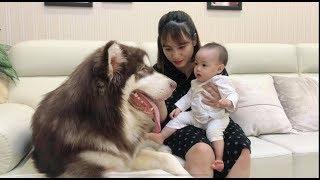 Mật làm bả mẫu trông bé Judy - Alaska Dog look Baby - Mật Pet Family