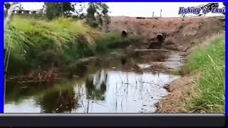 How to catch Snakehead Fish in Thailand l  Snakehead Fish l snakehead fish attack jump frog lure ep5