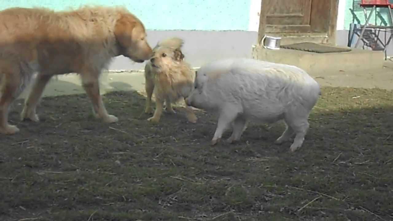 Schweine Hunde