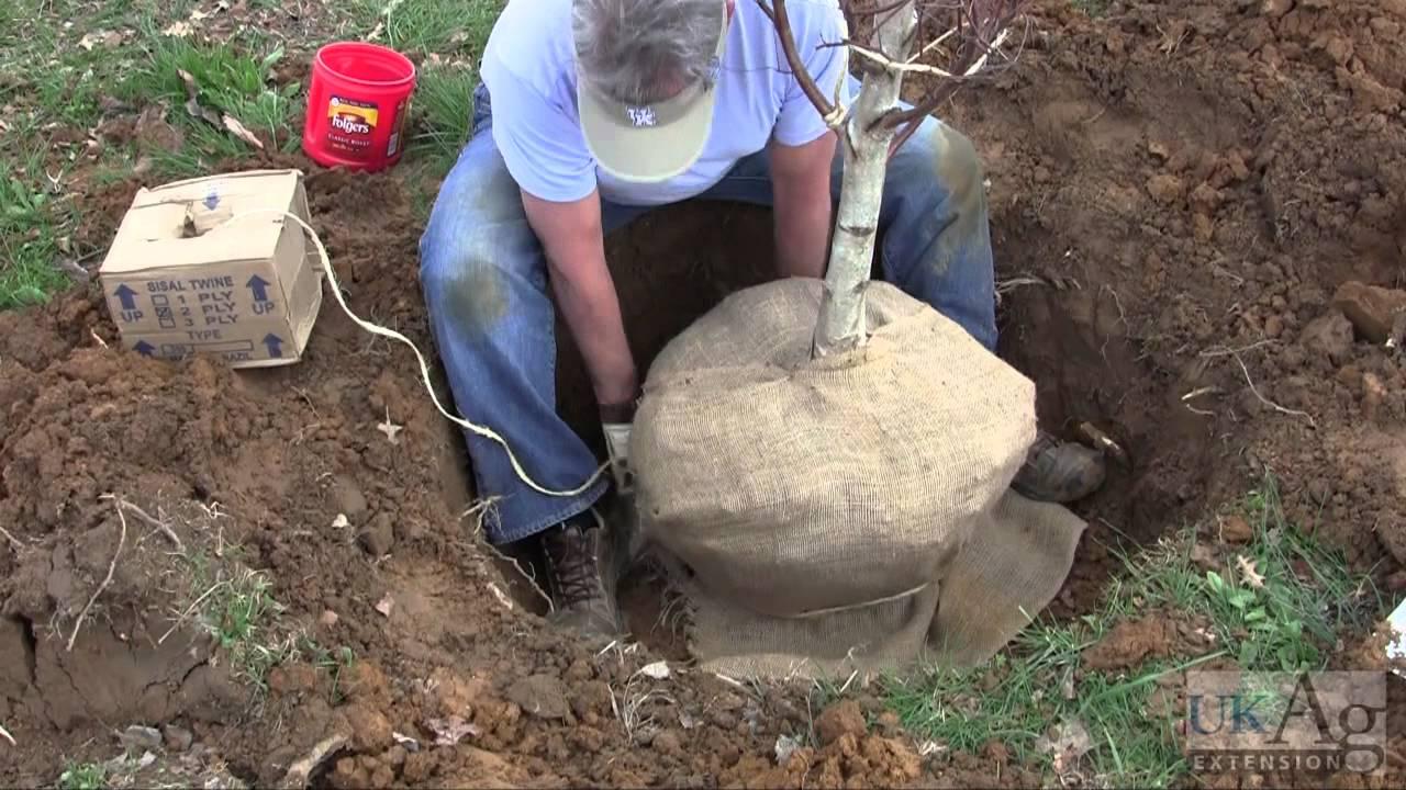 Hand Digging Nursery Trees Youtube