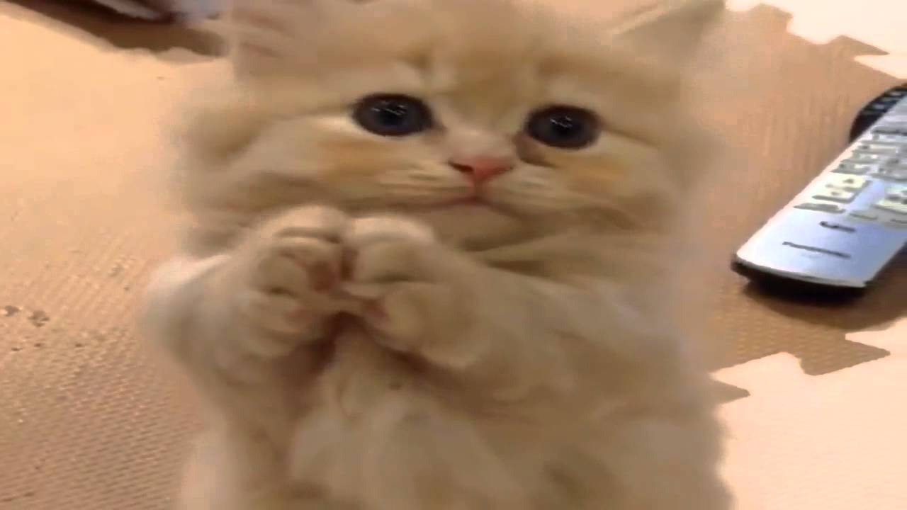 The Cutest Kitten Adorable Kitten Begs