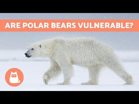Is The POLAR BEAR In Danger Of Extinction?