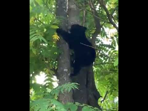 VIDEO: Bear Cub Scampers Up Fair Lawn Tree
