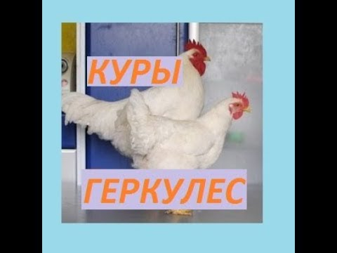 КУРЫ ПОРОДЫ ГЕРКУЛЕС- GERCULES CHICKENS