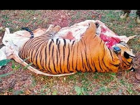 Man Eater  KILLER TIGER ATTACKS IN INDIA Wildlife Nature BBC Documentary HD 2016