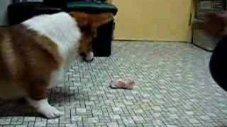 Cool.. Eat Cow Bone ~ Welsh Corgi