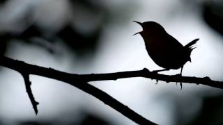 Watch Jack Hardy The Wren video