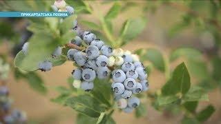 Где в Украине выращивают голубику | Ранок з Україною