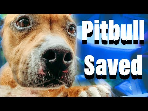 Rescuing Abandoned Pitbull | The Nicest Dog Ever
