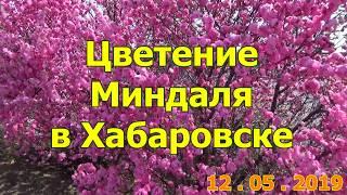 Цветение Миндаля в Хабаровске.