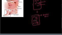 Antacids - Working of  Ranitidine (Zantac)