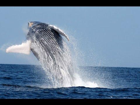 Mira el maravilloso espectáculo de las ballenas jorabadas en Piura