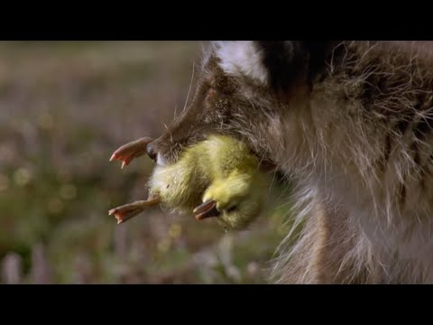 Arctic Fox Kills Snow Goose Chicks | Planet Earth | BBC Earth