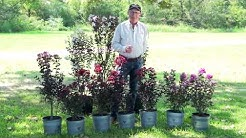All About Black Diamond Crapemyrtles