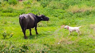 6 Months Old Labrador Puppy Playing with Buffallo