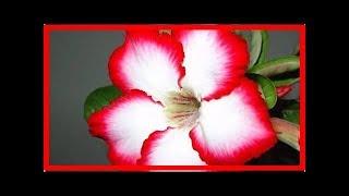 沙漠玫瑰怎麼養護才容易開花,為什麼容易掉葉子?