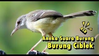 Aneka Suara Burung - Suara Burung Ciblek