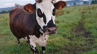 Vache normande INES Rocky ecouflers Ginai