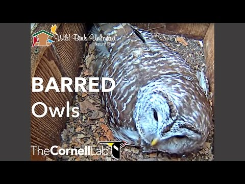 Wild Birds Unlimited Barred Owl Cam on YouTube