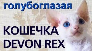 Голубоглазая, белого окраса кошечка Девон рекс