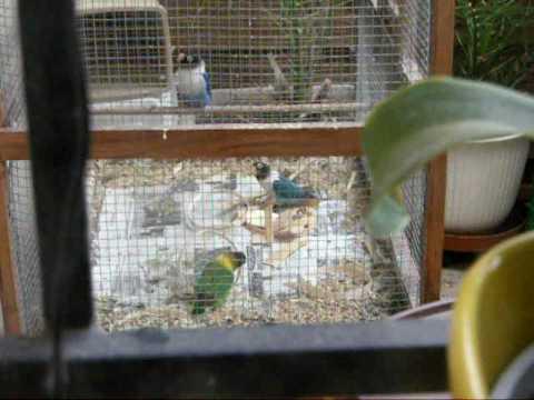 mes inséparables font leur nid !