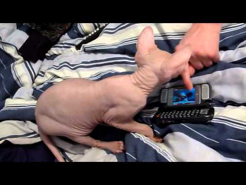Sphynx cats crazy personality