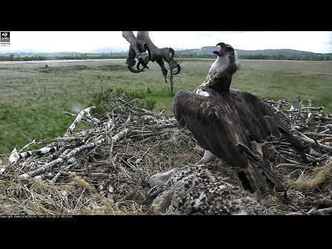 Osprey nest cam footage 7, Foulshaw Moss nature reserve  2015