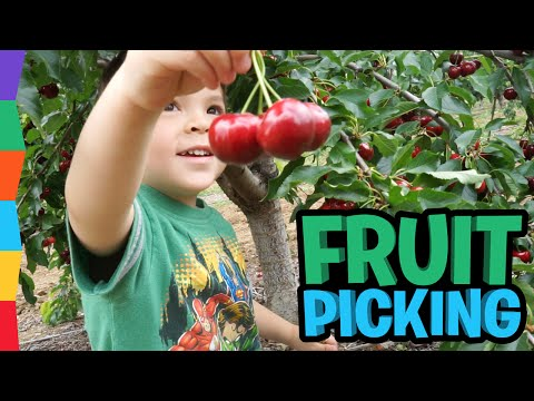 fruit-picking-family-fun---how-to-choose-fruit---family-adventure-by-toyrap