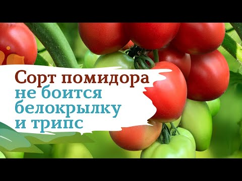 Помидор Пинк Хайп -  белокрылка не пройдет | помидоры | россии | огород | хайп | сорт | сады | пинк | дача | сад