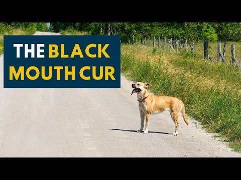 Black Mouth Cur: An Owner's Guide To The Cur Dog