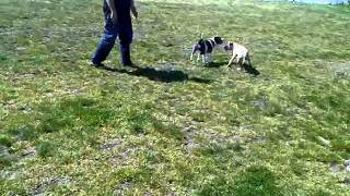 Staffordshire Bull Terrier And Pitbull Pup Playing