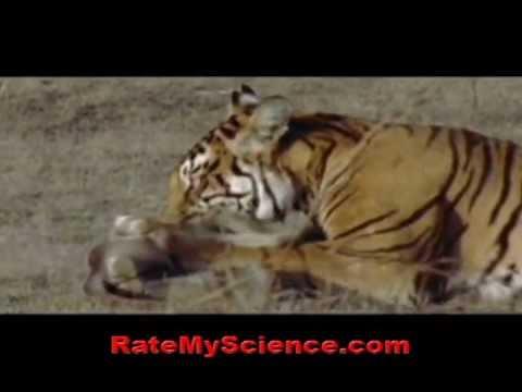 Tiger kills a monkey in ambush, Rate My Science