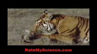 Tiger kills a monkey in ambush, Rate My Science