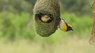 Weaver Bird Couple In The Nest - A Rare Moment