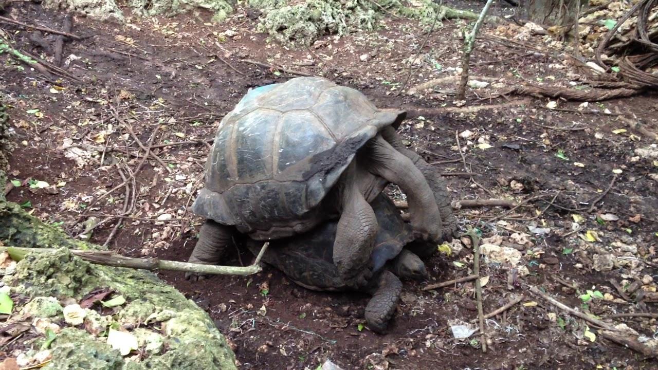 Большие черепахи трахаются