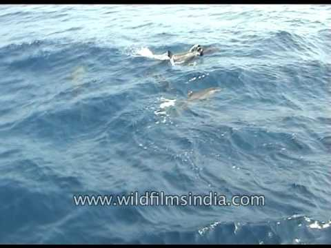 Dolphins in the Andaman Sea of India