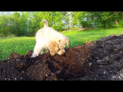 Marigold learning to dig