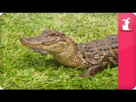Bindi & Robert Irwin feature - American Alligators  - Growing Up Wild.