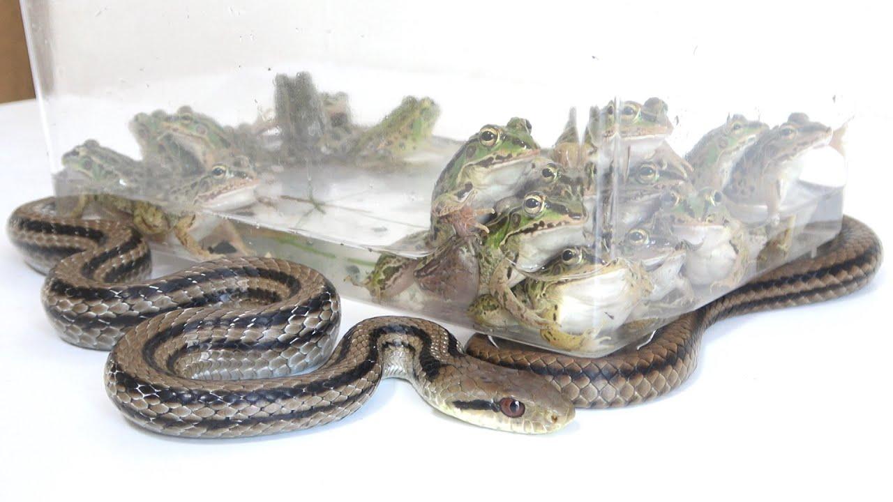 腹ペコのヘビに大量のカエルをあげた結果...