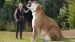Самые большие дикие кошки на планете! Гигантские котики...