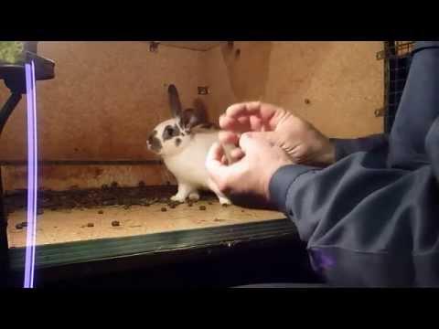 Определение беременности самки кролика