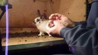 Определение беременности самки кролика(Методом прощупывания низа живота крольчихи., 2014-03-31T10:05:12.000Z)