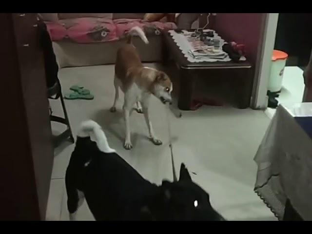 One Indian dog controls another.