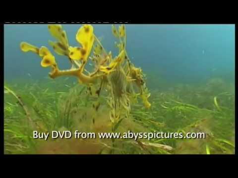 "Leafy sea dragon documentary film ""The Vanishing Dragon"" Scuba diving in South Australia"