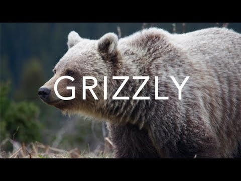 Grizzly Bear Encounter | Canada Travel Diary